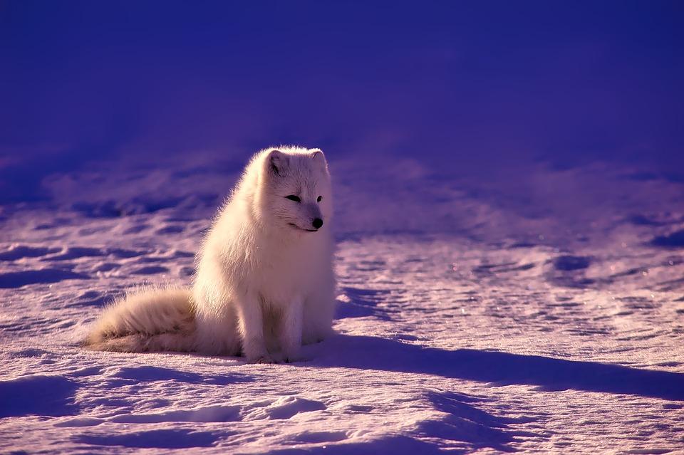 Na Finlândia, acreditava-se que uma raposa mística criava a aurora, com sua cauda peluda espalhando neve e jogando faíscas no céu